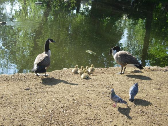 Canada Geese family 3
